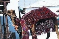 camel1 - The economic and ecologic principles of dyeing the wool fibers